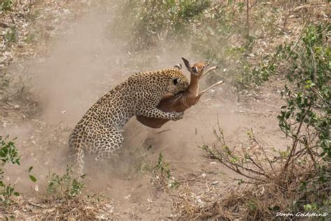 A leopard kill in Kruger - Africa Geographic