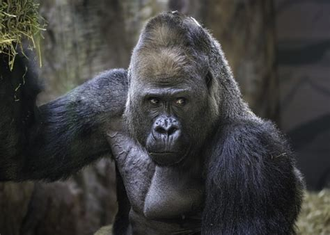 Interesting facts about Gorillas | ultimate guide to