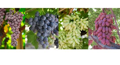 IFG unveils new line of table grape varieties   Morning Ag