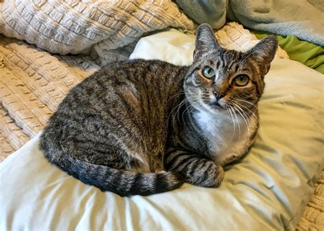 Tabby Cat Facts with Pictures | Cat Breed Selector