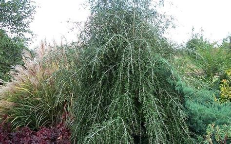 Buy Weeping Yaupon Holly For Sale - FREE SHIPPING From