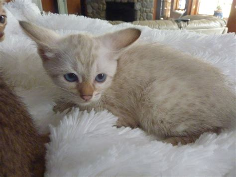 Domestic Wild Cats - NEW KITTENS HAVE ARRIVED!! (please