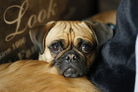 What to Do If Your Dog's Eye Pops Out of the Socket