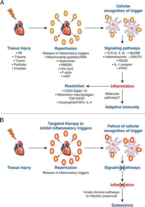 Processes of Sterile Inflammation   The Journal of Immunology