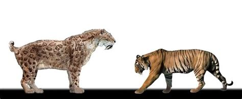 Who would win in a battle between a fully grown tiger